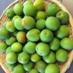 簡単&おいしい梅ジュースの作り方、カルピス方式で日持ちも抜群!